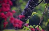 雨槭:DSC_6081_調整大小.JPG