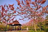 春色滿園 花旗木:DSC_0392_調整大小.JPG