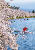 日本 平成時期的最後櫻花...2019:33664685184_e54485dc6e_c_調整大小.jpg