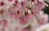 陽明山 櫻花+1:DSC_0039_調整大小.JPG
