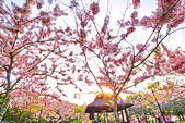 春色滿園 花旗木:DSC_0485_調整大小.JPG