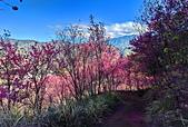 白毛台山  櫻花:IMG_20210213_091757_調整大小.jpg