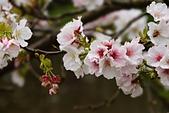 陽明山 櫻花:DSC_0008_調整大小.JPG