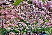 春色滿園 花旗木:DSC_0509_調整大小.JPG