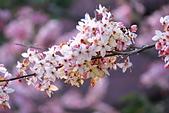 春色滿園 花旗木:DSC_0531_調整大小.JPG