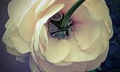 新生公園 玫瑰花:IMG_20210331_172341_調整大小.jpg