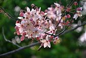 春色滿園 花旗木:DSC_0534_調整大小.JPG