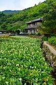 竹子湖 海芋季 大賞園:DSC_0336_調整大小.JPG