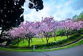 陽明山 櫻花+1:DSC_0259_調整大小.JPG