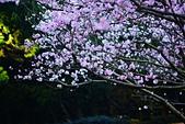 陽明山 櫻花+1:DSC_0283_調整大小.JPG