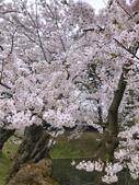日本櫻花見:8A048462-53CA-4632-BEB1-17D20C16CFAC_調整大小.jpg