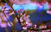 內湖 櫻花 2020:DSC_0438_調整大小.JPG