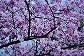 陽明山 櫻花+1:DSC_0285_調整大小.JPG