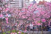 內湖 櫻花 2020:DSC_0721_調整大小.JPG