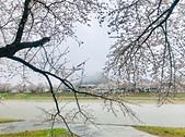 日本櫻花見:8C554AA7-7D40-4CB7-878B-EF05685DF98F_調整大小.jpg