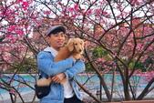 內湖 櫻花 2020:DSC_0760_調整大小.JPG