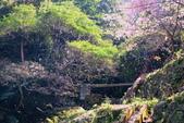 楓湖櫻花雪:櫻花雪