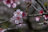 2021平菁街 第ㄧ棵滿開的櫻花:DSC_0426_調整大小.JPG