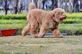 大型貴賓犬:DSC_8728_調整大小.JPG