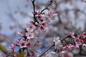 2021平菁街 第ㄧ棵滿開的櫻花:DSC_0430_調整大小.JPG