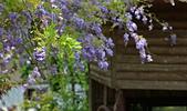 粗坑窯 紫藤:DSC_9791_調整大小.JPG