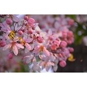 靜謐三月 花旗木:相簿封面