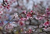 2021平菁街 第ㄧ棵滿開的櫻花:DSC_0432_調整大小.JPG