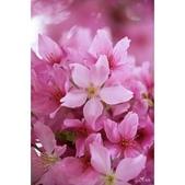 50農場櫻花 :相簿封面