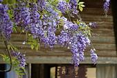 粗坑窯 紫藤:DSC_9809_調整大小.JPG
