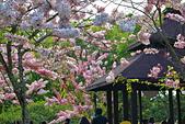 春色滿園 花旗木:DSC_0257_調整大小.JPG