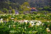 當幸福來相芋    竹子湖海芋季: