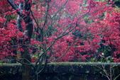 雨槭:DSC_6099_調整大小.JPG