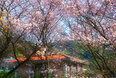 陽明山 橘餐廳 櫻花賞 4.10:DSC_0034_調整大小.JPG