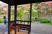 春色滿園 花旗木:DSC_0462_調整大小.JPG