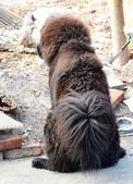 獒犬:image739_調整大小.JPG