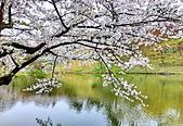 日本 平成時期的最後櫻花...2019 4月:318E9756-5B30-42B7-A22D-20E47E41D337_調整大小.jpg