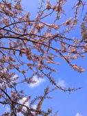 2020 與春天有約 三月 花旗木:IMG_20200327_095612_調整大小.jpg
