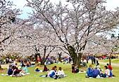 日本 平成時期的最後櫻花...2019 4月:0434E6D4-21F2-4476-B556-B0382EA681D2_調整大小.jpg