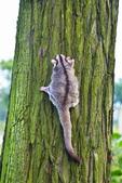 落羽杉上遇見 小鼯鼠:
