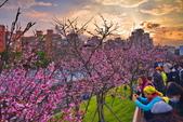 內湖 櫻花 2020:DSC_0746_調整大小.JPG