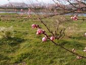 處處有驚喜追櫻踏雪之行(三)---一目千本櫻:大多已盛開,但是仍然有含苞待放的
