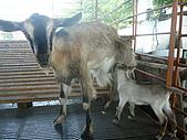 屏東萬丹~中元世紀牧場:小羊喝奶唷
