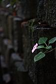 勝興車站、銅鑼杭菊:苗栗杭菊&勝興車站 152上傳.JPG