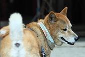 日本柴犬:DPP_6055.JPG