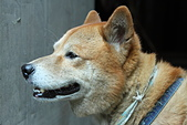 日本柴犬:DPP_6056.JPG