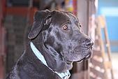 台灣高山犬:DPP_1563.JPG