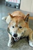 日本柴犬:DPP_6058.JPG