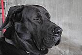 台灣高山犬:DPP_5241.JPG