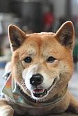 日本柴犬:DPP_6059.JPG