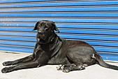 台灣高山犬:DPP_4863.JPG